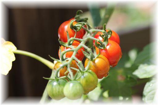 20150621ミニトマト