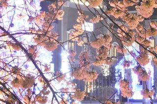 141221_fuyusakura_01w.jpg