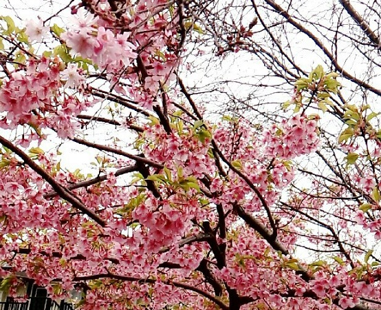 近所の桜ぽい花。