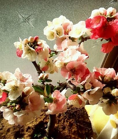 じいちゃんの育ててるボケの花。