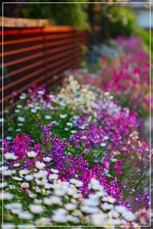 ○○家の花壇が満開!!!