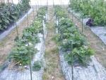 収穫後のイチゴの畝1