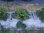 収穫後のイチゴの畝2