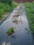 黒豆の植え付け1