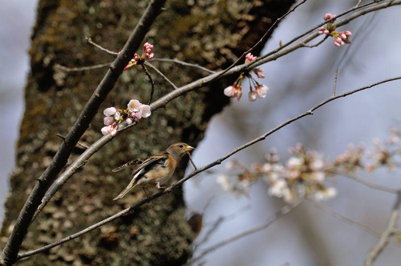DSC_3813-桜アトリ-B