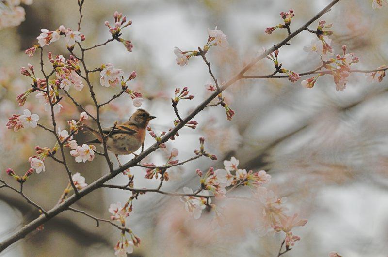 DSC_3973-桜アトリ-B
