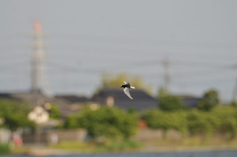 DSC_4289-ハジロクロハラ-B