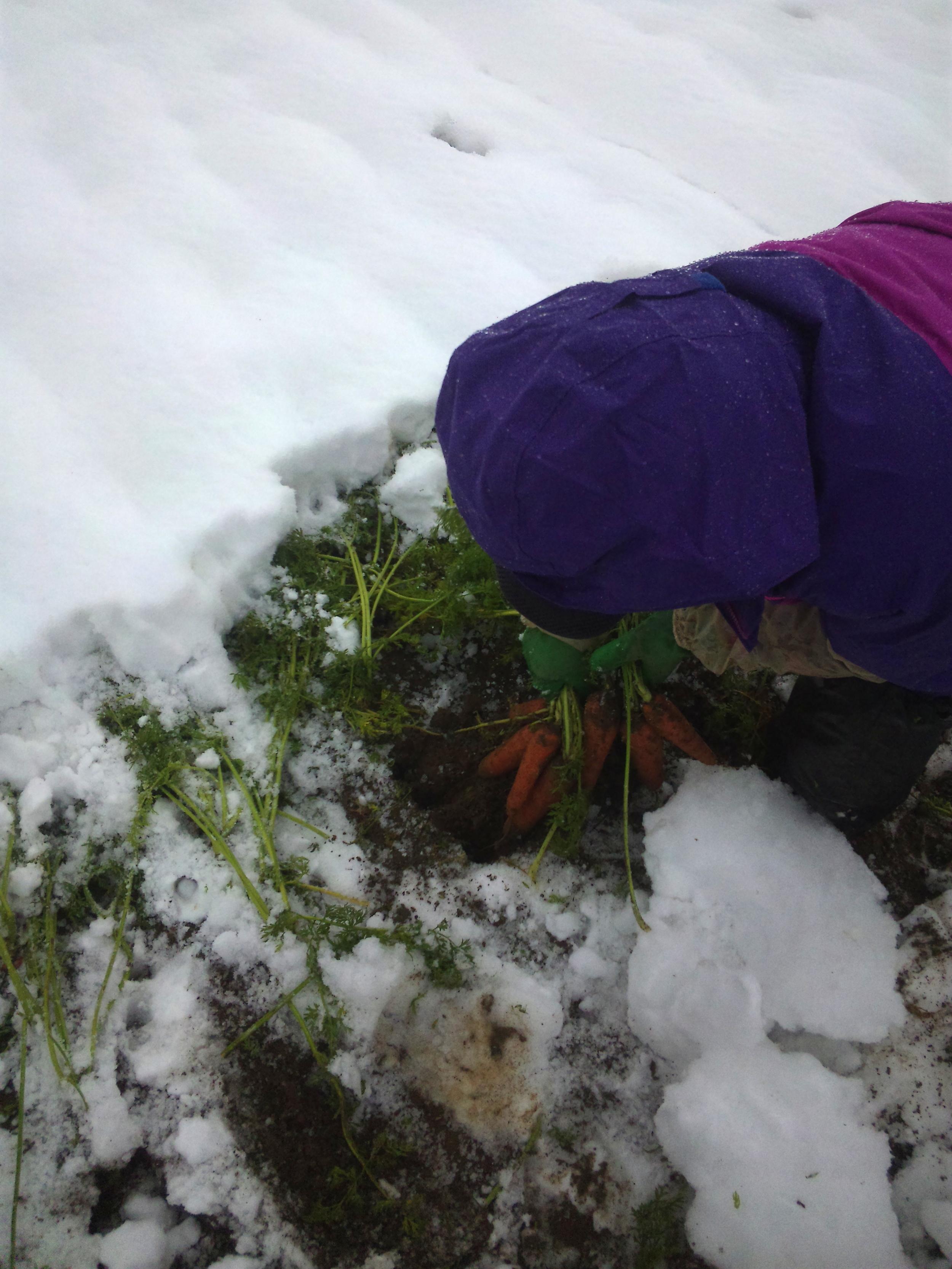 雪の下のニンジン掘りの様子