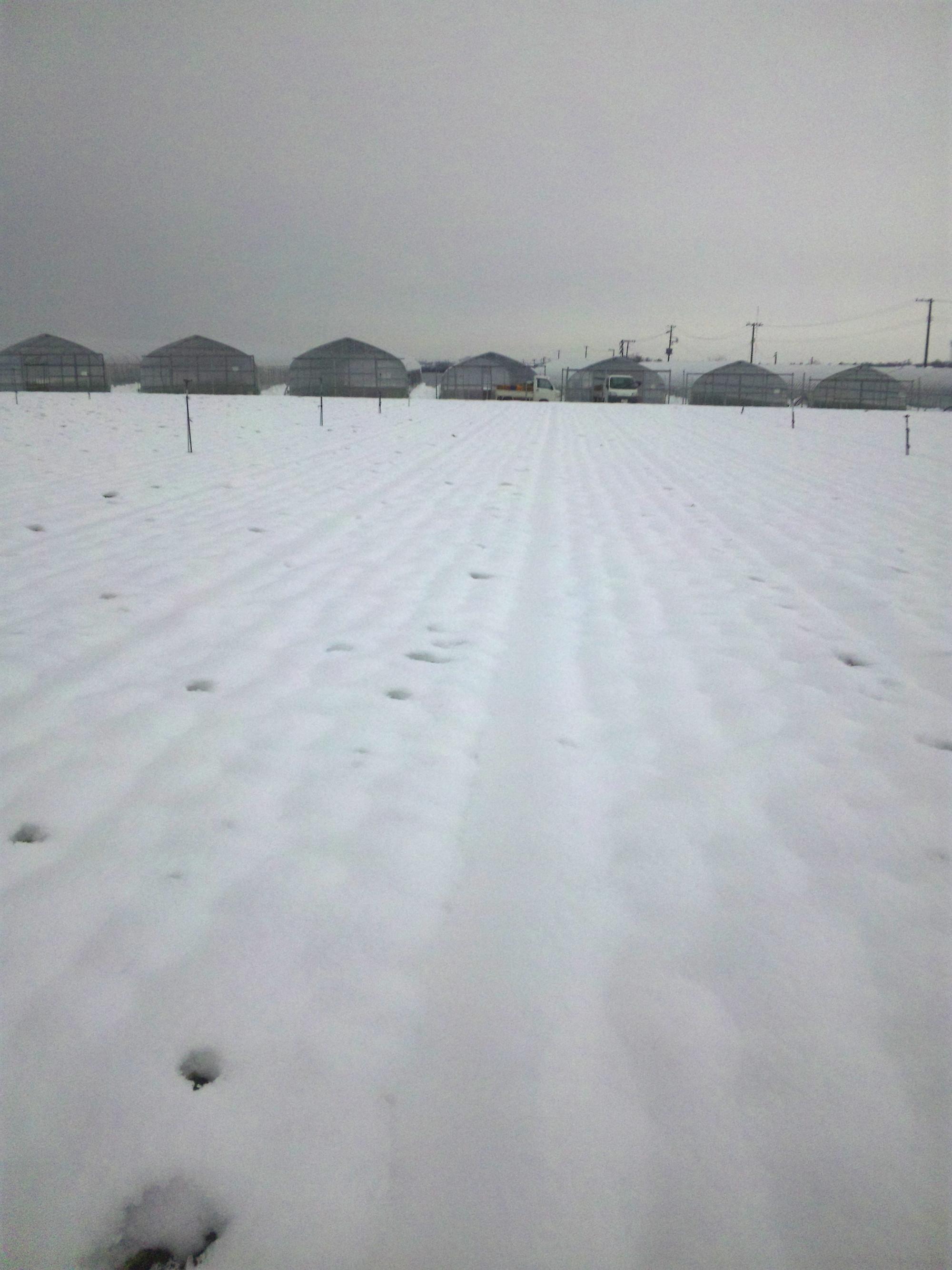 雪が積もったニンジン畑