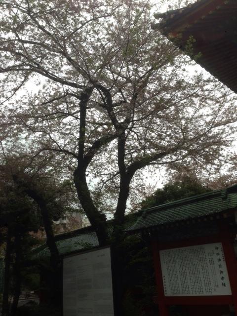 kanda_201504_sakura.jpg