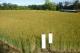 麦秋に近づいてきた麦畑