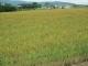 西側の麦畑の風景