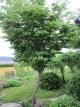 ヤマボウシの木