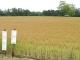 家の南側の麦畑