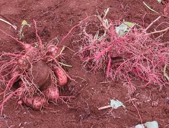 肥沃地の安納芋とベニハルカ