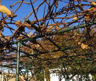 キウイの枝12月上旬