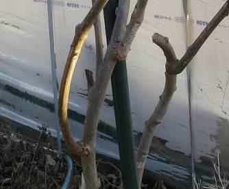 キウイ基部からの枝切除