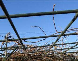 キウイ古い枝の除去