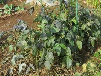 小粒黒豆11月菜園