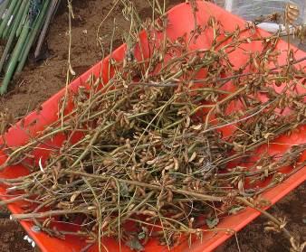 小粒黒豆の収穫後の乾燥