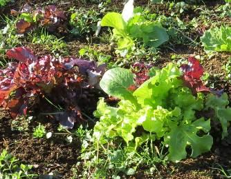 ミックスレタス12月菜園