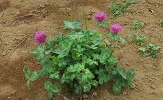 赤クローバーの花