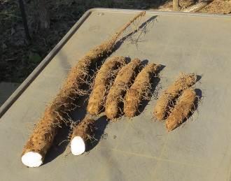 ヤマイモ収穫物