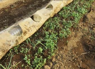 透明ビニールマルチ下の雑草