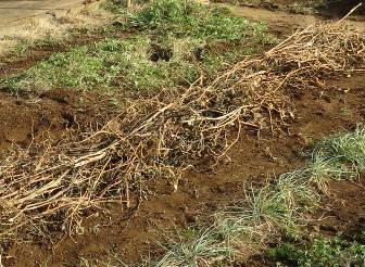 アスパラガス冬の草マルチ