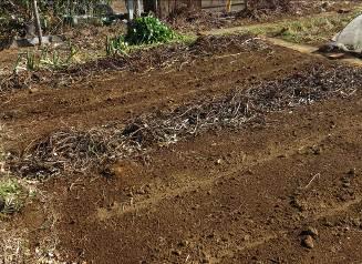 サツマイモの蔓残骸1月