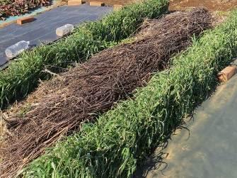 緑肥オートとモロヘイヤ残骸
