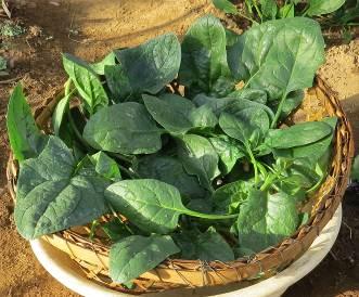 ホウレンソウ収穫物2月