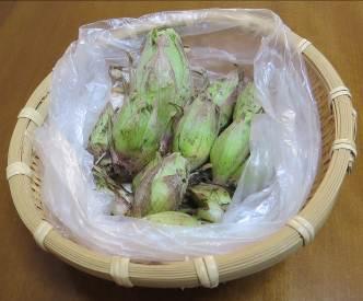 フキノトウ収穫物