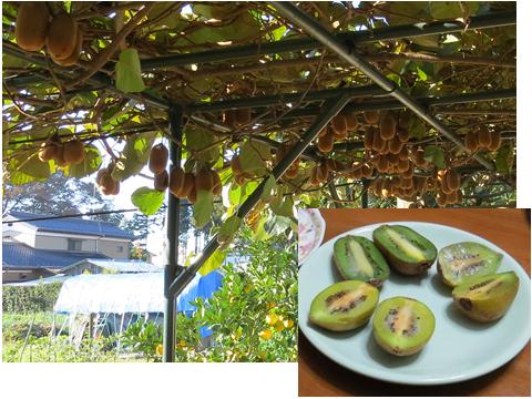 キウイの木と実