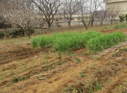 無農薬菜園1