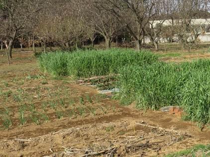 無耕起無畝立ての菜園