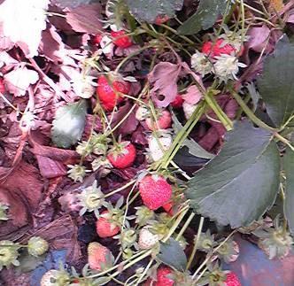イチゴ収穫期5月