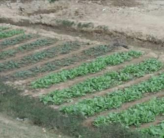 マダガスカルの野菜栽培