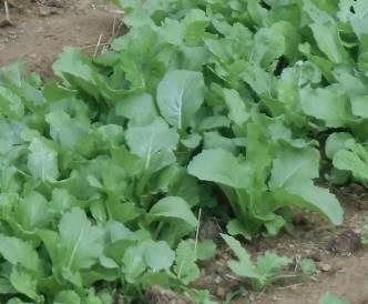 マダガスカルの葉もの野菜