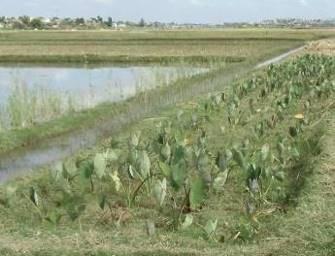 マダガスカルのサトイモ栽培