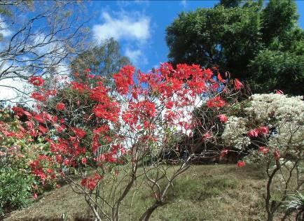 マダガスカルのポインセチアと白い花