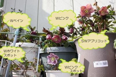 開花鉢_7321