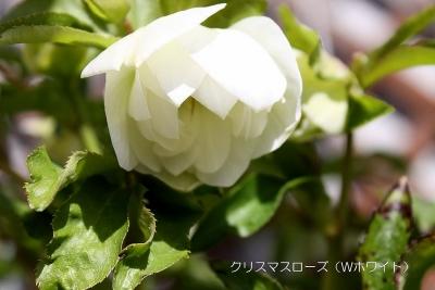 Wホワイト カップ_7328 (2)