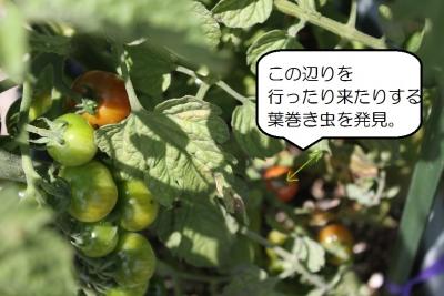 ミニトマト_8742