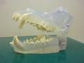 ワンちゃんの歯の模型です。