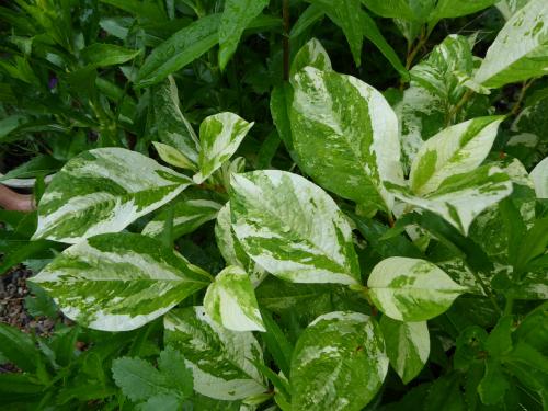 斑入りミズヒキの葉