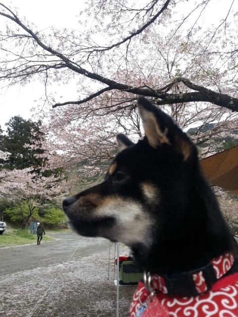 青野原_甜と桜