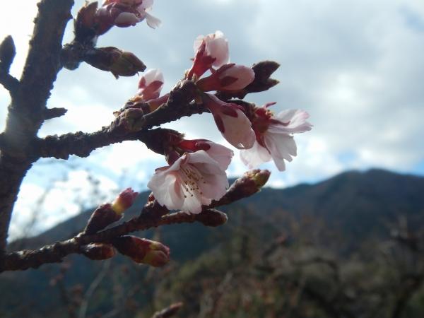 カンザクラ開花
