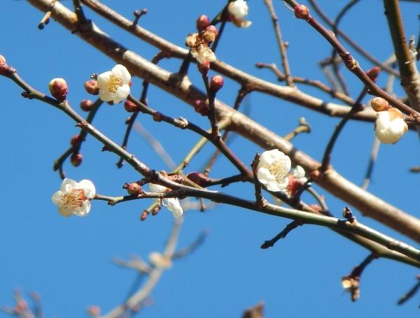 冬至梅(福島)