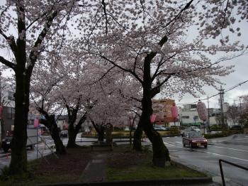 27、桜並木
